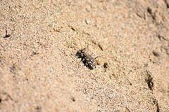 Una Cicindela en la arena de la playa (esta_ahi) Tags: laura cicindela flexuosa cicindelinae carabidae coleoptera insectos fauna arena playa rieradesantcliment pein deltadelllobregat barcelona spain españa viladecans baixllobregat