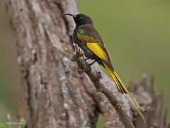 Golden-winged Sunbird Drepanorhynchus r. reichenowi (nik.borrow) Tags: bird sunbird serengeti