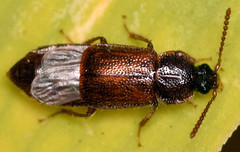 4.7 mm ocellate rove beetle (ophis) Tags: coleoptera polyphaga staphyliniformia staphylinoidea staphylinidae omaliinae anthophagini acidota acidotasubcarinata ocellaterovebeetle rovebeetle uvulariasessilifolia sessilebellwort