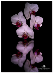 MARCH 2019 NGM_0543_7149-1-222 (Nick and Karen Munroe) Tags: houseplant bloom blooming flowering flower flowers plant plants orchid orchids reflection reflections reflective karenick23 karenick karenandnickmunroe karenandnick munroe karenmunroe karen nickandkaren nickandkarenmunroe nick nickmunroe munroenick munroedesigns photography munroephotoghrpahy munroedesignsphotography nature landscape brampton bramptonontario ontario ontariocanada outdoors canada d750 nikond750 nikon nikon2470f28 2470 2470f28 nikon2470 nikonf28 f28 nikon70200f28 nikon70200 70200 70200f28 colour colours color colors