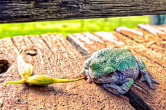 Our Own Little Kermy (1300 Photography) Tags: nikon z6 treefrog frog animal wildlife outdoors 20mm spring affinity affinityphoto