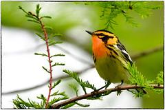 Blackburnian (RKop) Tags: warbler raphaelkopanphotography d500 600mmf4evr 14xtciii ohio mageemarsh warblers nikon