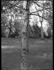 figurative tree forms, branches, Asheville, NC, Mamiya 645 Pro, mamiya sekor 80mm f-2.8, Kodak Tri-X 400, HC-110 developer, 4.27.19 (steve aimone) Tags: tree treeforms branches figurative asheville northcarolina mamiya645pro mamiyasekor80mmf28 mamiyaprime primelens 120 120film film mediumformat monochrome monochromatic blackandwhite 645 kodaktrix400 hc110developer