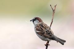 Sparrow with Gift (bloedmann999) Tags: sperling sparrow spatz