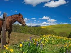 Horse Sunny Day Wildflower Field 4633 A (jim.choate59) Tags: jchoate on1pics horse springtime wildflowers field meadow clouds sky klickitatcounty washingtonstate rural sunny warm d610 lupine balsamroot thedalles pasture