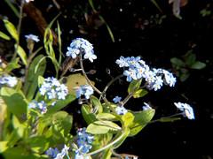 Garden flowers - forget-me-not (Andy Sut) Tags: forgetmenot closeup bokeh uk england nottingham nature garden flora flowers lumix andysutton bridgecamera amateur panasonic