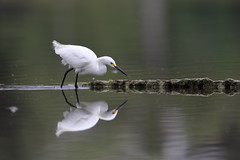 Snowy egret (Phátography 分店) Tags: snowyegret egret bird birdwatching california canon canoneos7dmarkii 7dmarkii 400mm ef400mmf28lisusm outdoor park wildlife