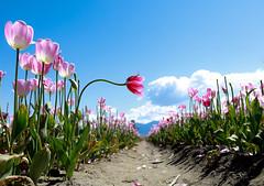 Tulip Season (Photo Alan) Tags: tulip season flower flowers nature vancouver spring canada