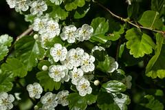 Crataegus laevigata (Midland Hawthorn) - Rosaceae - Thorpe Wood, Peterborough, UK (Nature21290) Tags: ancientwoodland april2019 crataegus crataeguslaevigata midlandhawthorn northamptonshire peterborough plant rosaceae thorpewood uk