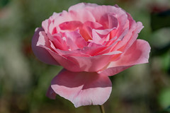 Soft Pink Coloured Rose in Bloom (Merrillie) Tags: rose holidays natural soft nature australia huntervalley softpink newsouthwales petersonschampagnehouse nsw flower flora travel pink hunterregion autumn outdoors wineries bloom pokolbin petals gardens