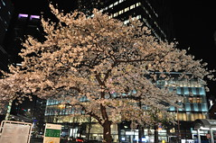 cherryb19508 (tanayan) Tags: cherry blossoms sakura flower night view nikon d90 aichi japan 桜 さくら 愛知 日本 nagoya 名古屋 meieki 名駅 town urban cityscape