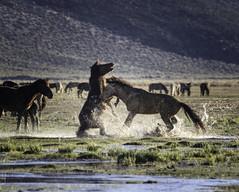 Mustang Battle (raineys) Tags: wildmustang horse nature wildlife battle monocounty california specanimal