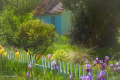 Spring Time in Coloma (HFF) (buffdawgus) Tags: california spring marshallgolddiscoverystatehistoricpark coloma iris topazstudio canonef24105mmf4lisusm lightroom6 canon5dmarkiii sierranevadafoothills eldoradocounty