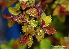 A Break In The Rain... (angelakanner) Tags: canon70d lensbaby velvet56 closeup garden longisland manualfocus leaves raindrops