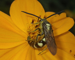 preto e branco (abelhário) Tags: vespa wasp wesp inseto insekt insecto insect cosmossulphureus cosmo cosmosamarelo bidenssulphurea brazil brasil brasilien brazilië hymenoptera yard quintal pollinatorgarden yellowcosmos