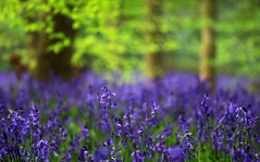 Bluebell Woods Series (PJ Swan) Tags: bluebells woods woodlands deciduous springtime spring durham england great britain blue