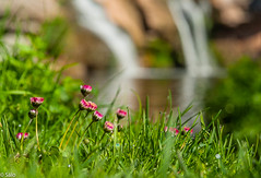 Moli  de Brotons (salo75) Tags: grass bokeh spring desenfoque nikon flowers moià flower flor gotas primavera catalunya paisaje molidebrotons rio lago cascada drops hierba flores agua d700 water landscape