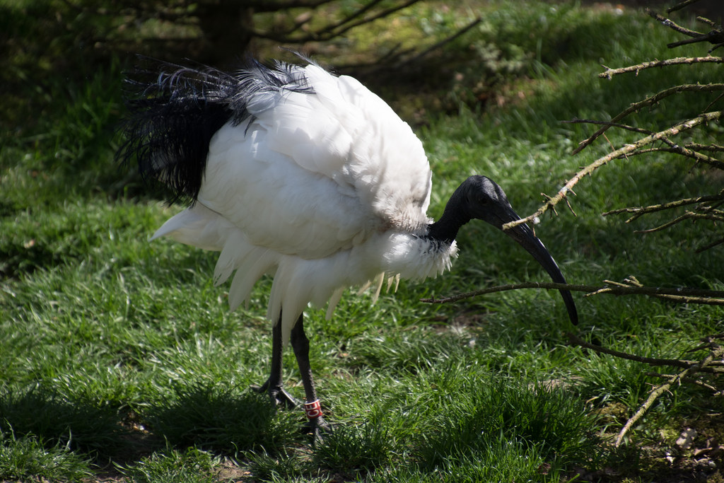 the world's best photos of ibis and vögel - flickr hive mind