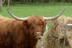 Highland Bullock P1450073mods (Andrew Wright2009) Tags: tilty essex england uk cattle highland bullock