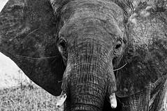 Elephant - Tanzania / Serengeti (dominik.lorenz) Tags: elefant tansania serengeti tanzania elephant afrika africa bw blackandwhite