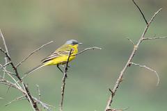 Жёлтая трясогузка (Yuriy Kuzmenok) Tags: птицы птица природа трясогузка жёлтаятрясогузка