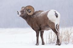 Rocky Mountain Bighorn (markvcr) Tags: rocky mountain bighorn ram sheep wildlife nature canada alberta