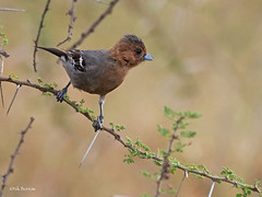 Red-throated Tit Melaniparus fringillinus (nik.borrow) Tags: bird tit ndutu