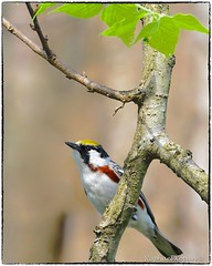Chestnut-sided (RKop) Tags: raphaelkopanphotography d500 600mmf4evr 14xtciii magrishriversidepark ohio