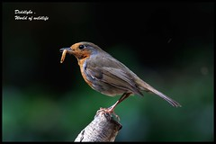 Robin . (Diddley Bo) Tags: bokeh garden robin meal worm dinner