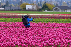 Tulip hunter (James_D_Images) Tags: skagitvalley tulipfestival tulips tulip field roozengaarde washingtonstate pacificnorthwest photographer tripod dslr camera telephoto lens backpack blue jacket walking pink green white rows farm buildings houses camoflage