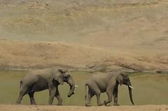 Slowly but surely  (elephants) (Pixi2011) Tags: elephants krugernationalpark southafrica africa big5 wildlife nature animals