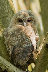 Tawny Owl (MOZBOZ1) Tags: tawny owl tawnyowl gosforth newcastle strixaluco branching owlet