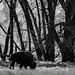 Bison at Rocky Mountain Arsenal National Wildlife Preserve, Denver, Colorado