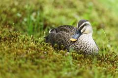 Mallard (Teruhide Tomori) Tags: wild nature mallard bird kyoto japan japon マガモ 日本 京都 京都府立植物園 鳥 鴨 動物 duck kyotobotanicalgarden