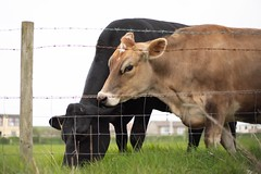 HFF (jillyspoon) Tags: sigmamc11 sonya7iii sony farming happyfencefriday cows fences fencefriday fence hff