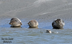 Trois phoques gris ( Phocidae ) indifférents avec celui qui nage... (jean-lucfoucret) Tags: mer sea berck picardie phoque nikond500 nikon d500 plage beach nikkor200500f56 nikkor 200500f56 phoquegris carnivore phocidae halichoerus grypus halichoerusgrypus mammifère animal animlia seal dichtung sello berckplage aquatique aquatic nordpasdecalais sable sand playa grey