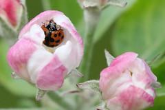 Any Aphids in There? (Roy Lowry) Tags: harlequinladybird harmoniaaxyridis ladybird beetle garden
