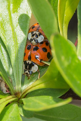 We can still see you.. (Brian Dunning) Tags: insect ladybird mating canon eos5dmarkiii ef100mmf28lmacroisusm mr14ex harmoniaaxyridis