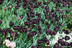 Київ, Співоче поле, тюльпани Травень 2019 InterNetri Ukraine 045