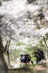 桜 #10ーCherry Blossoms #10 (kurumaebi) Tags: yamaguchi 秋穂 nikon d750 nature 山口市 landscape 桜 cherry cherryblossom spring 春