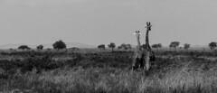 Synergy (Harish Mahesh) Tags: wildlife wildlifephotography africa tanzania mikumi giraffes giraffe blackandwhite nationalpark