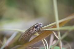 Slow worm - Anguis Fragilis 2 (frattonparker) Tags: btonner bokeh isleofwight lightroom6 nikkor105mmafsmicrof28ged nikond610 prime raw frattonparker anguisfragilis slowworm lizard reptile