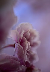 _DSC7929 Pastel beauty (Explored May 3,2019) (christinachui79) Tags: pink flower blossoms spring season nikon d750 macro closeup pastel beautiful nature