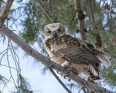 Juvenile Great Horned Owl (dan.weisz) Tags: owl greathornedowl raptor birdofprey bird tucson