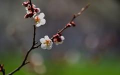 flower 1724 (kaifudo) Tags: sapporo hokkaido japan maruyamapark flower japaneseapricot plumblossom 札幌 札幌市 北海道 円山公園 春 梅 nikon d5 nikkor afs 105mmf14eed 105mm