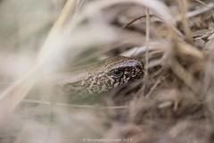 Slow worm - Anguis Fragilis 4 (frattonparker) Tags: btonner bokeh isleofwight lightroom6 nikkor105mmafsmicrof28ged nikond610 prime raw frattonparker slowworm anguisfragilis lizard reptile