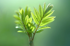 Green Sprouts (lfeng1014) Tags: greensprouts newleaves rowan tree macro macrophotography canon5dmarkiii ef100mmf28lmacroisusm springbuds spring shadesofgreen light depthoffield dof closeup bokeh lifeng