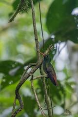 Amazilla tzacalt (CrossTheBirder) Tags: amazilia colibri oiseau tzacatl