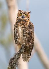 Young Great Horned Owl (PeterBrannon) Tags: bird bubovirginianus florida greathornedowl nature owlet peterbrannon wildlife owlintree portrait