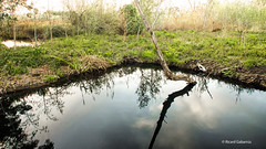2763 Ollals de Baltasar, Delta del Ebro, Tarragona (Ricard Gabarrús) Tags: agua water balsa estanque ullals natura arbol nubes follaje ricardgabarrus ricgaba olympus
